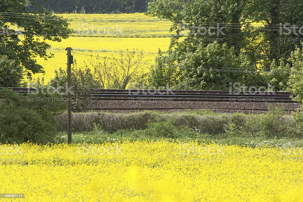 Oilseed Rape in Kent, England stock photo