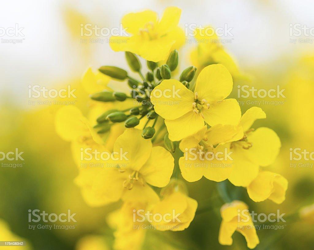 Oilseed Rape stock photo