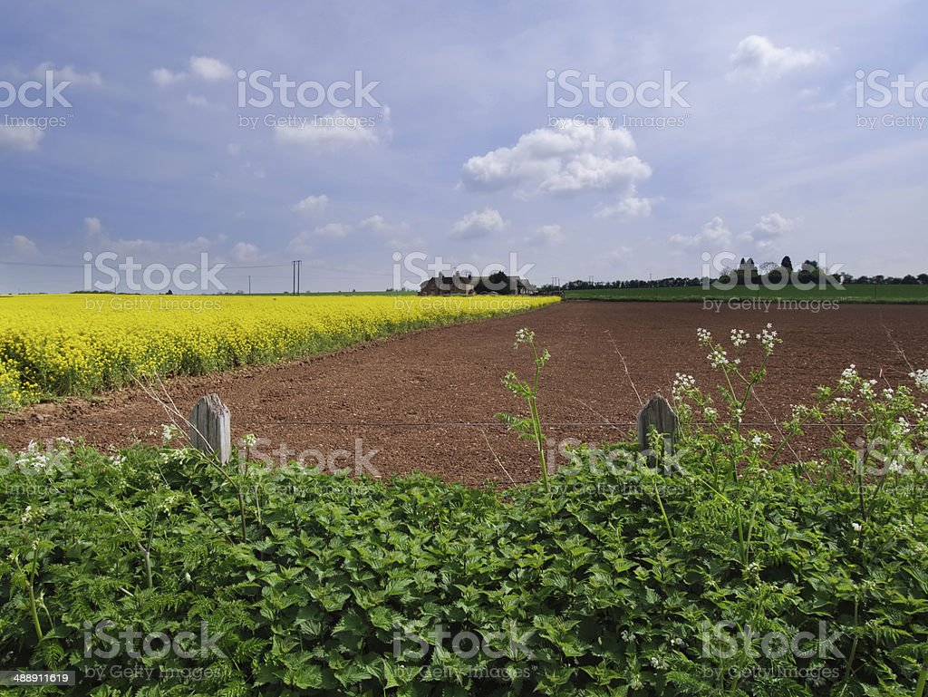 Oilseed Rape royalty-free stock photo