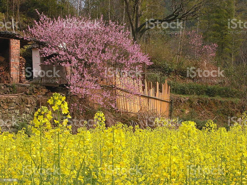 oilseeds and peach blossom royalty-free stock photo