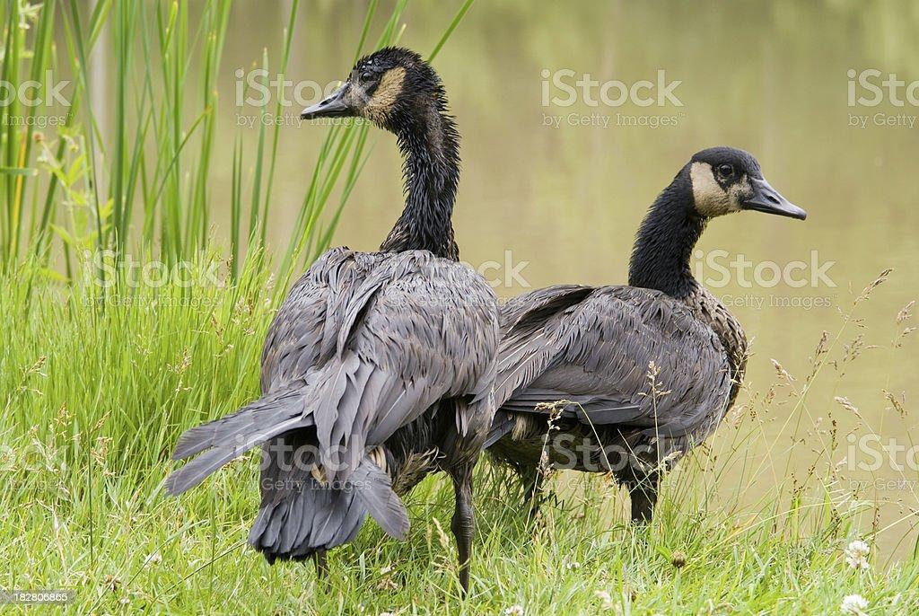Oily Geese stock photo