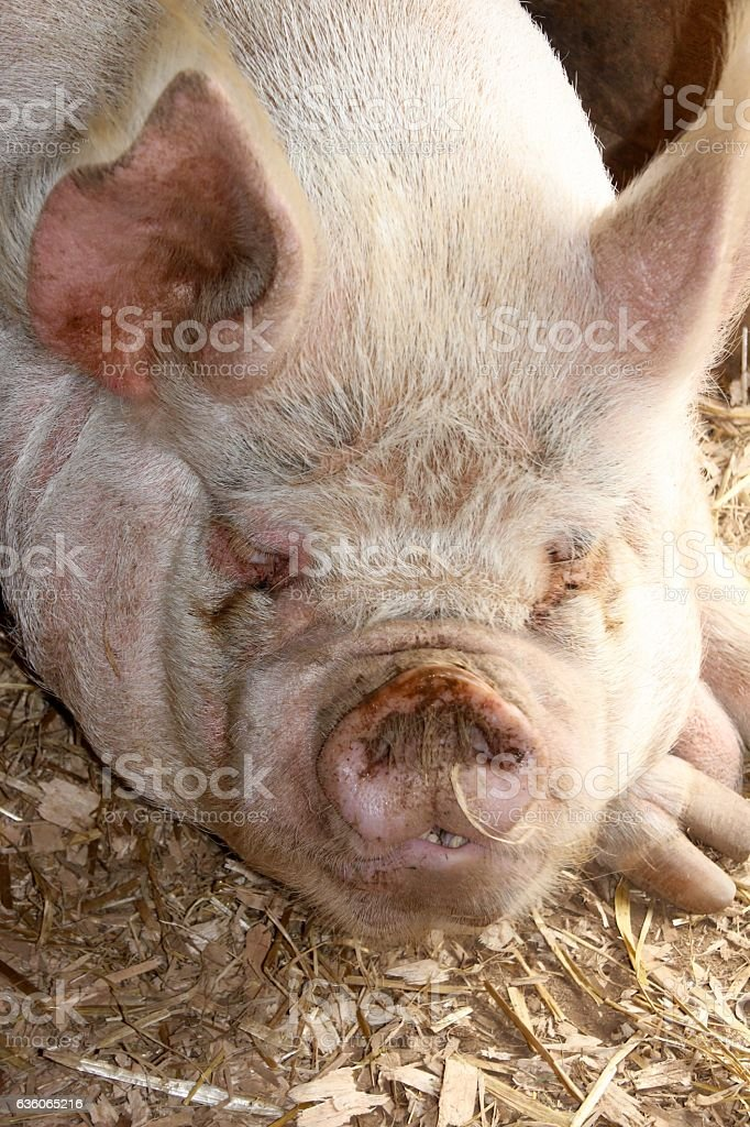Oink stock photo