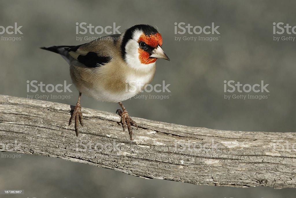 Oiseau chardonneret elegant royalty-free stock photo