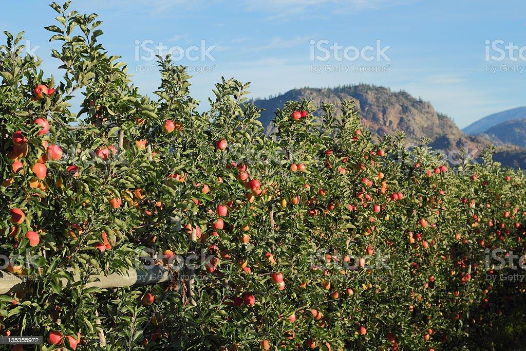 Okanagan Apple Orchard, British Columbia stock photo