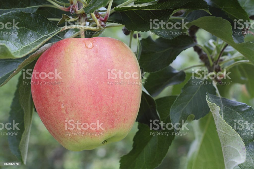 Okanagan Apple, Tree Branch stock photo