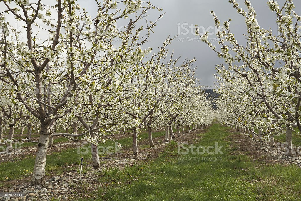 Okanagan Cherry Orchard Blossoms, British Columbia royalty-free stock photo