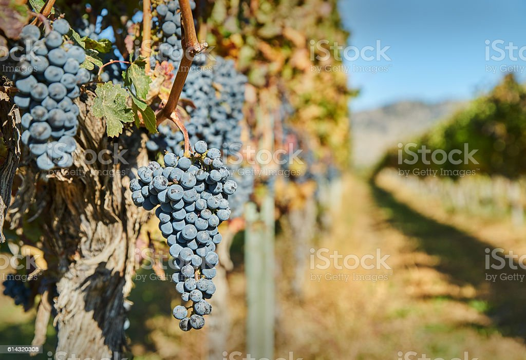 Okanagan Grapes Ready to Harvest stock photo