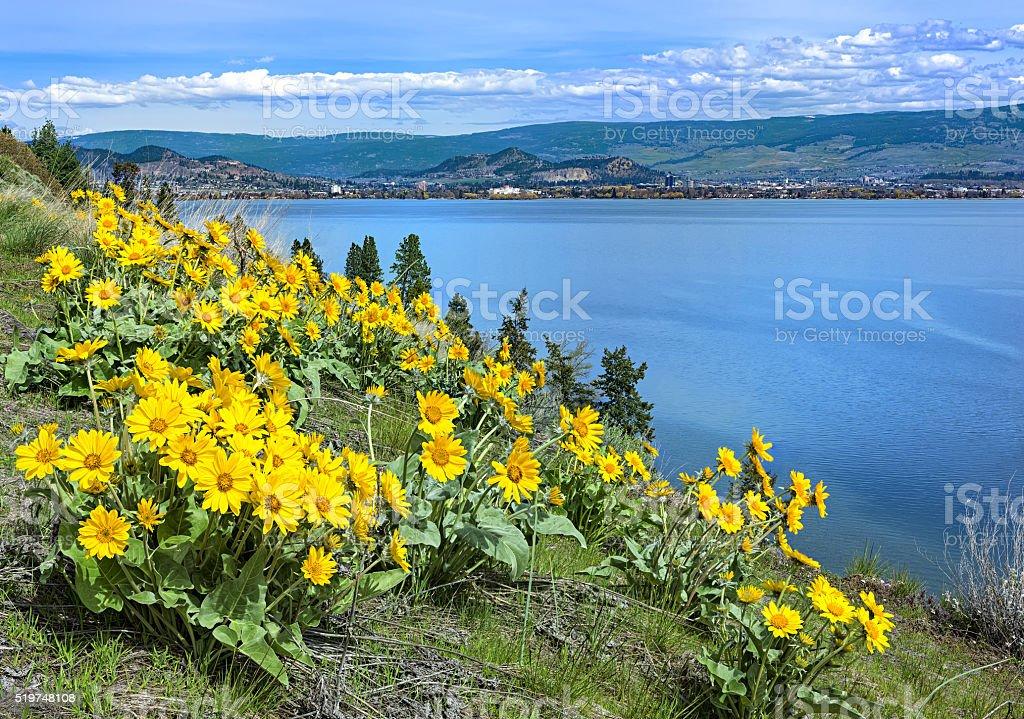 Okanagan Lake Kelowna British Columbia Canada with Balsamroot flowers stock photo
