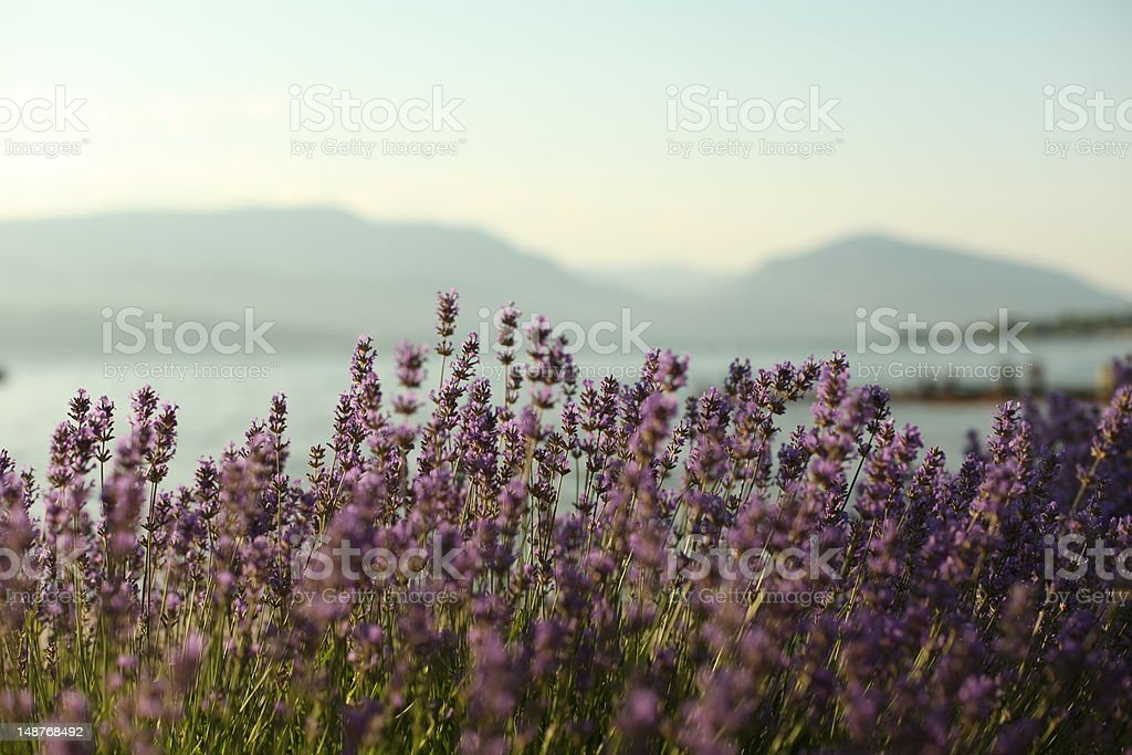 Okanagan Lavender stock photo