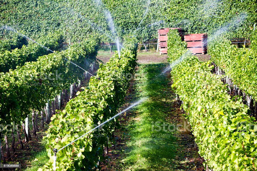 Okanagan Valley Organic Pinot Noir Vineyard Irrigation stock photo