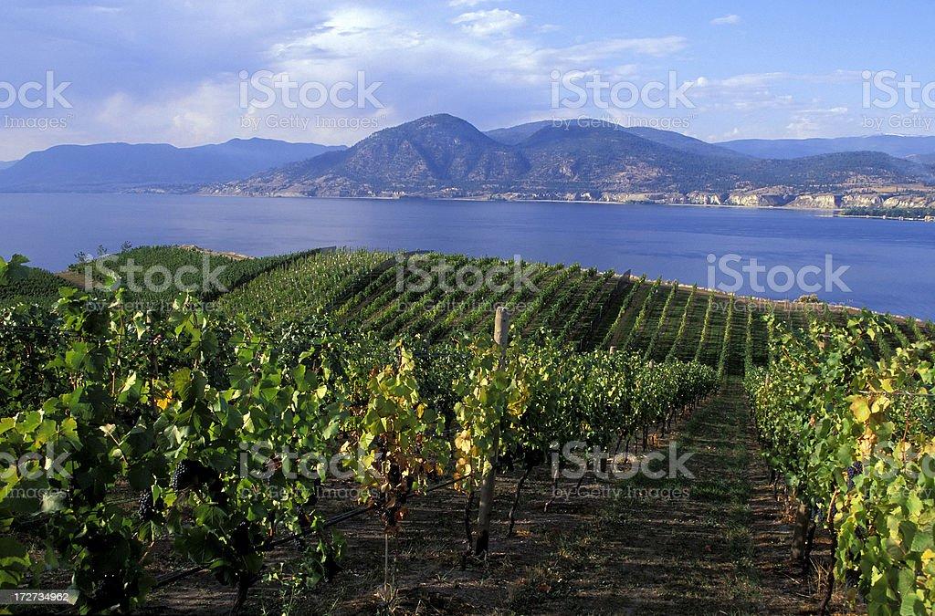 okanagan valley vineyard royalty-free stock photo