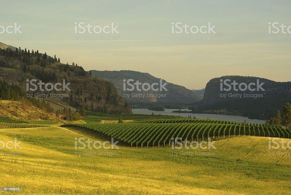 Okanagan Vineyard royalty-free stock photo