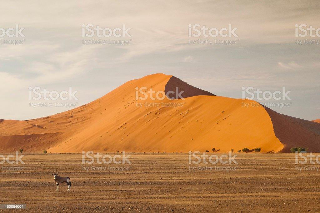 Okapi in the Namibian desert stock photo