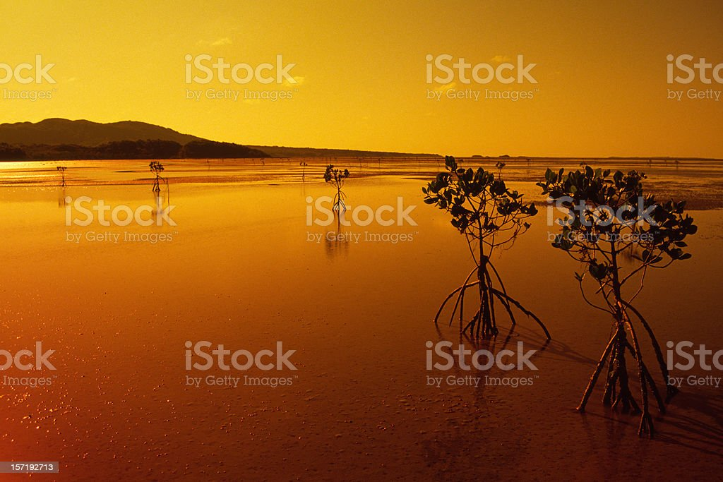 Okinawa Mangrove royalty-free stock photo