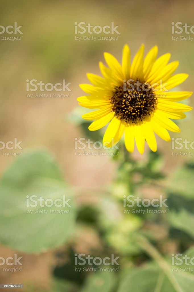 Oklahoma Sunflower stock photo