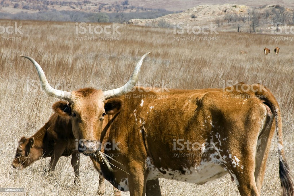 Oklahoma Texas Longhorn royalty-free stock photo