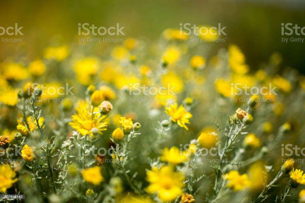 Oklahoma Wildflowers stock photo