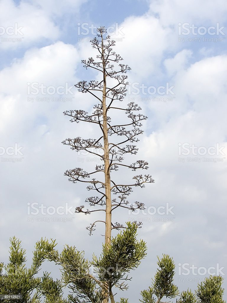Old agave stock photo