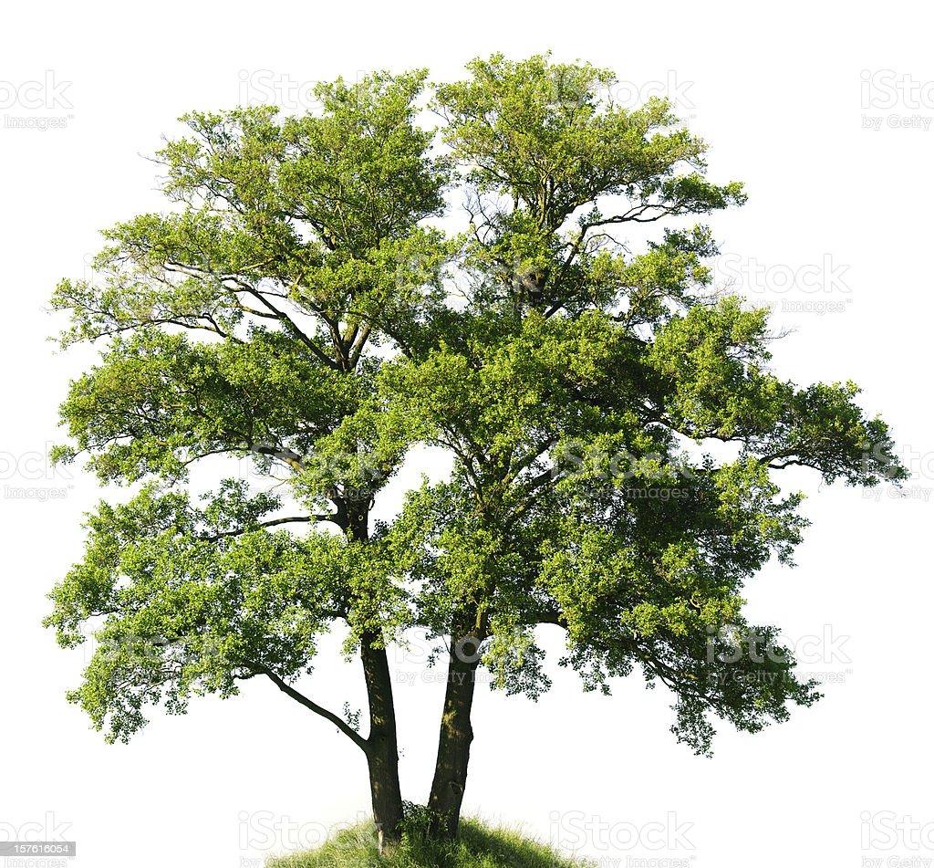 Old Alder Tree isolated on white (Alnus glutinosa), huge resolution. stock photo