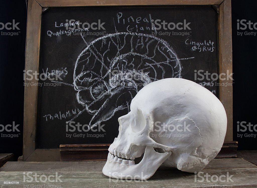 Old anatomy board and skull. stock photo