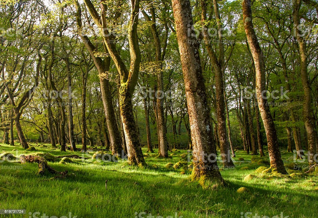 Old ancient green forest sunlight catching the trees stock photo
