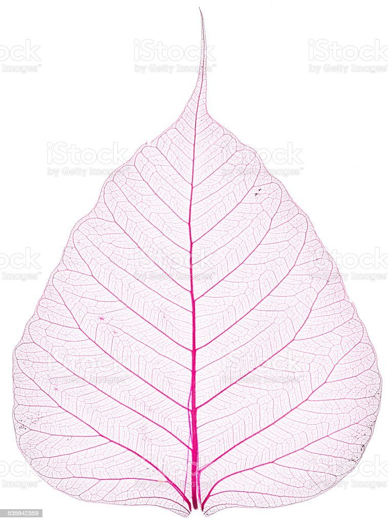 old and dry pink Pho leaf detail stock photo