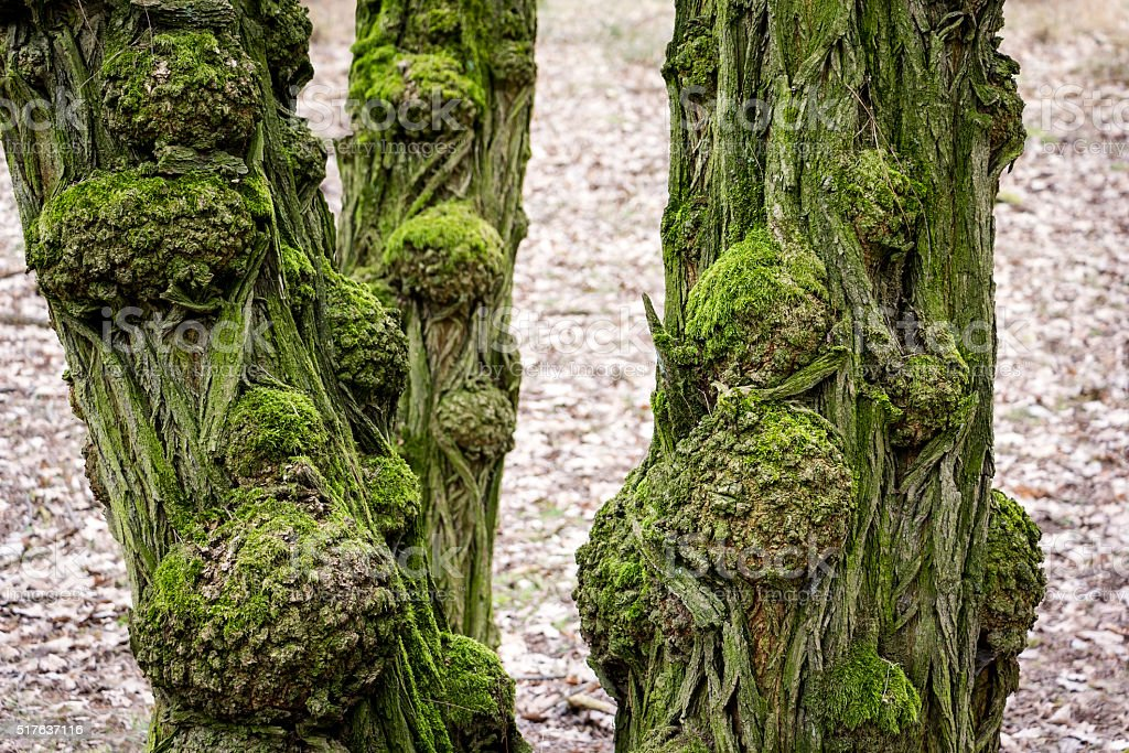 Old and gnarled trunks of black locust tree stock photo
