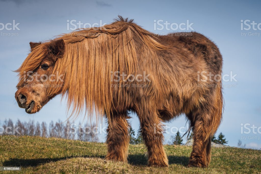 Old and hairy Icelandic horse stock photo