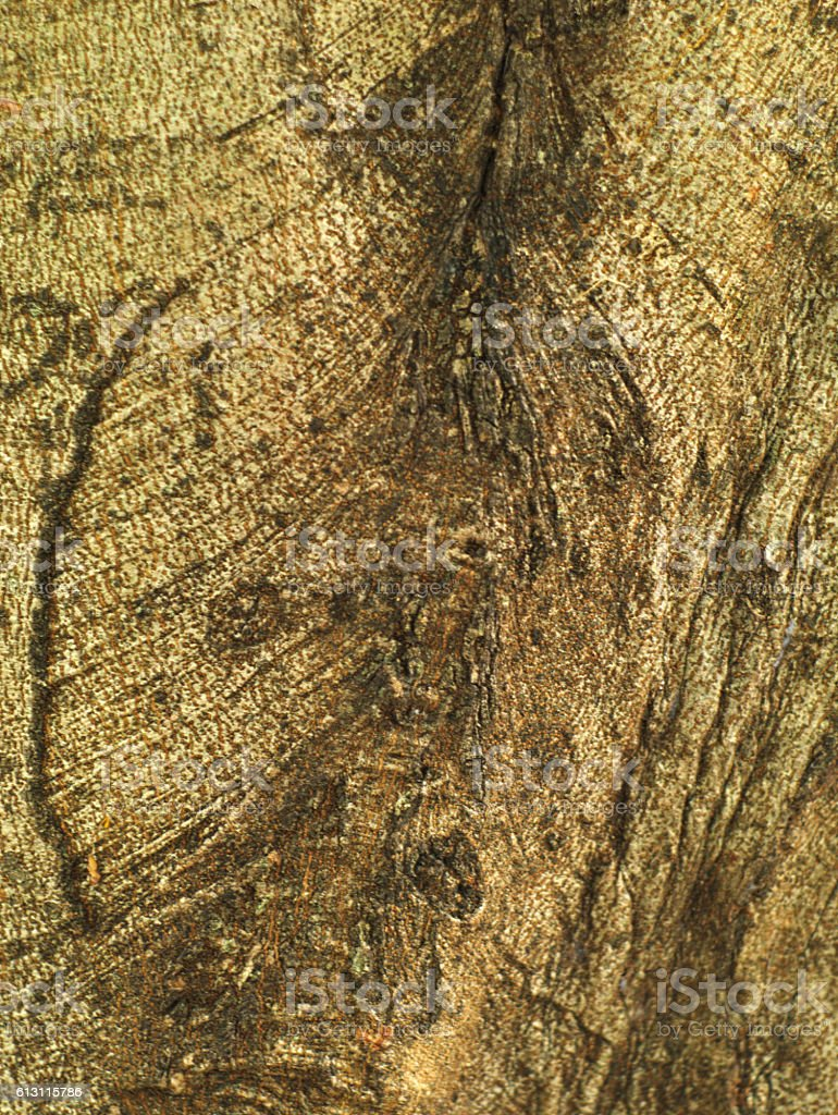 old and rugged weeping fig or ficus tree bark stock photo