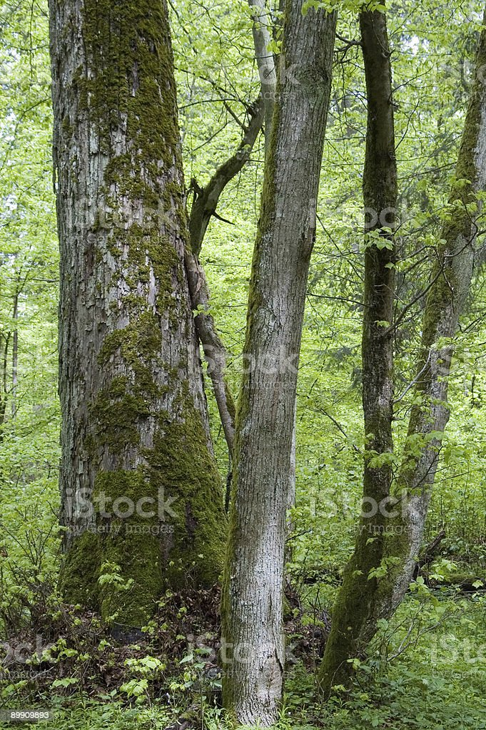 Old and young lyme tree stock photo