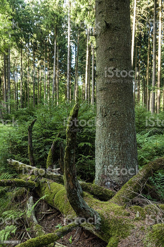 Old and young spruce trees in forest. Forestry, Southern Germany stock photo