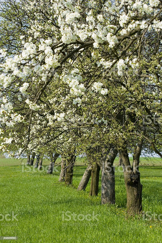 Old apple orchard (malus domestica) in spring royalty-free stock photo