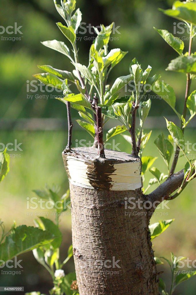 Old apple tree grafting stock photo