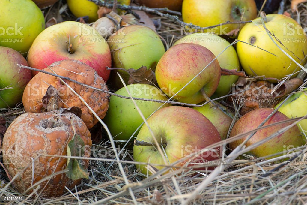 old apples stock photo