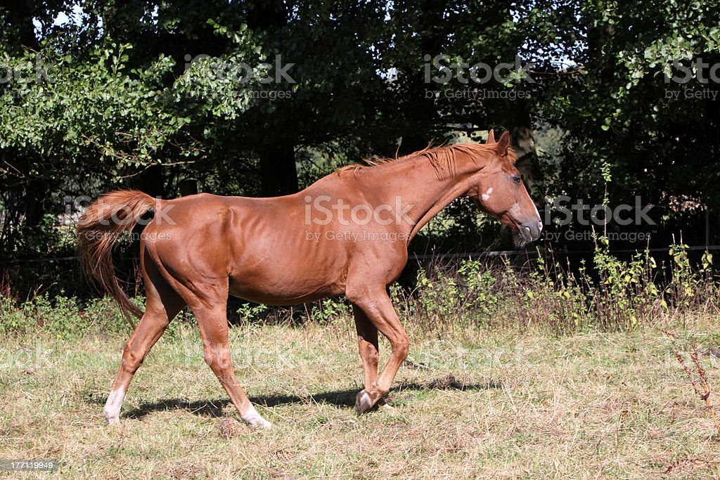 Old Arabian horse in the pasture stock photo
