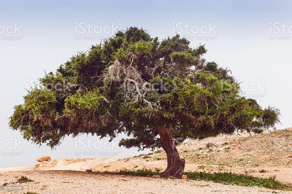 Old Argan tree in the desert ,Morocco stock photo