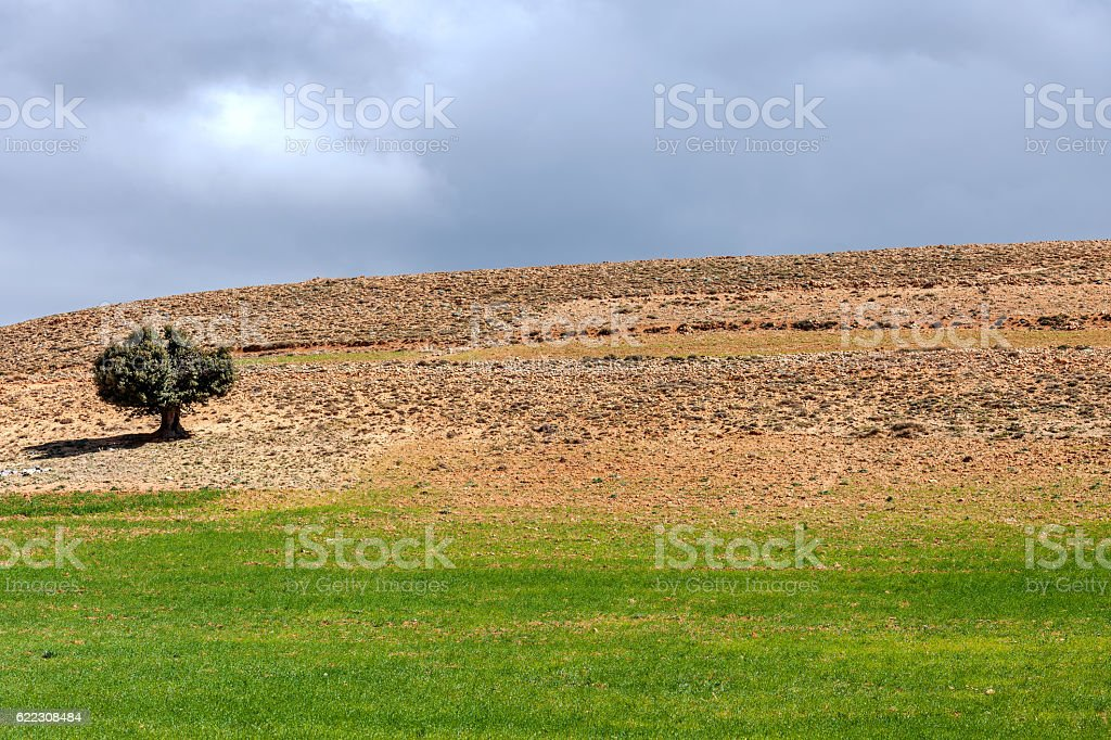 Old Argan tree in the desert ,Morocco,North Africa stock photo
