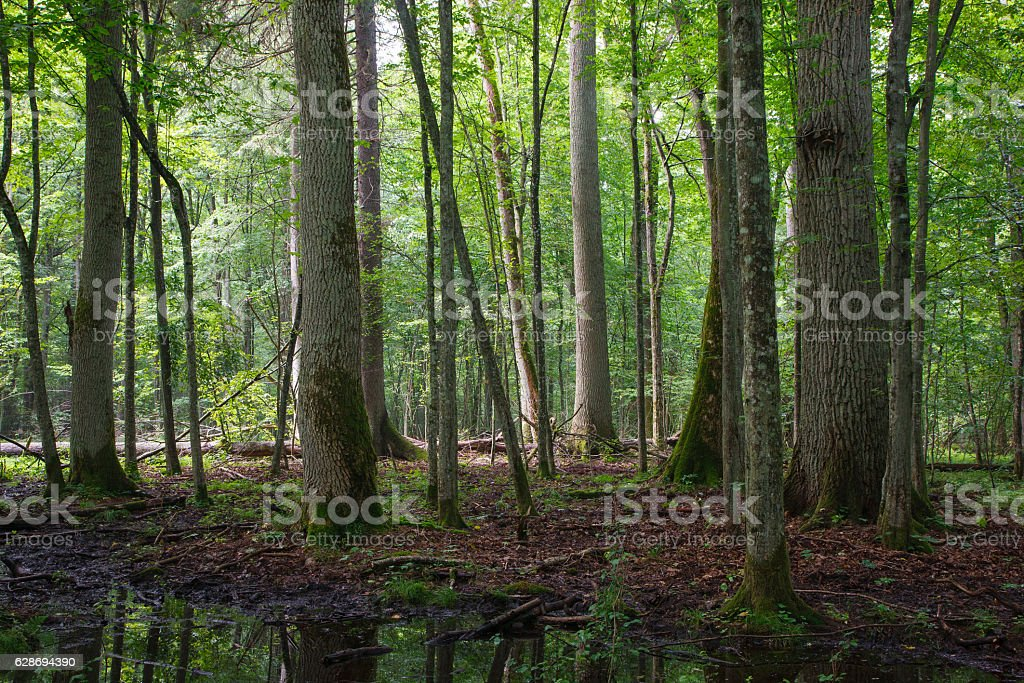 Old ash and oak trees in summer stock photo