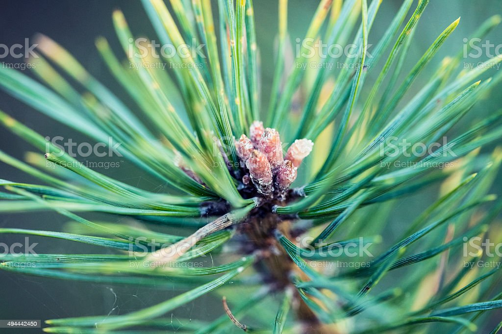 old autumn pine cones stock photo