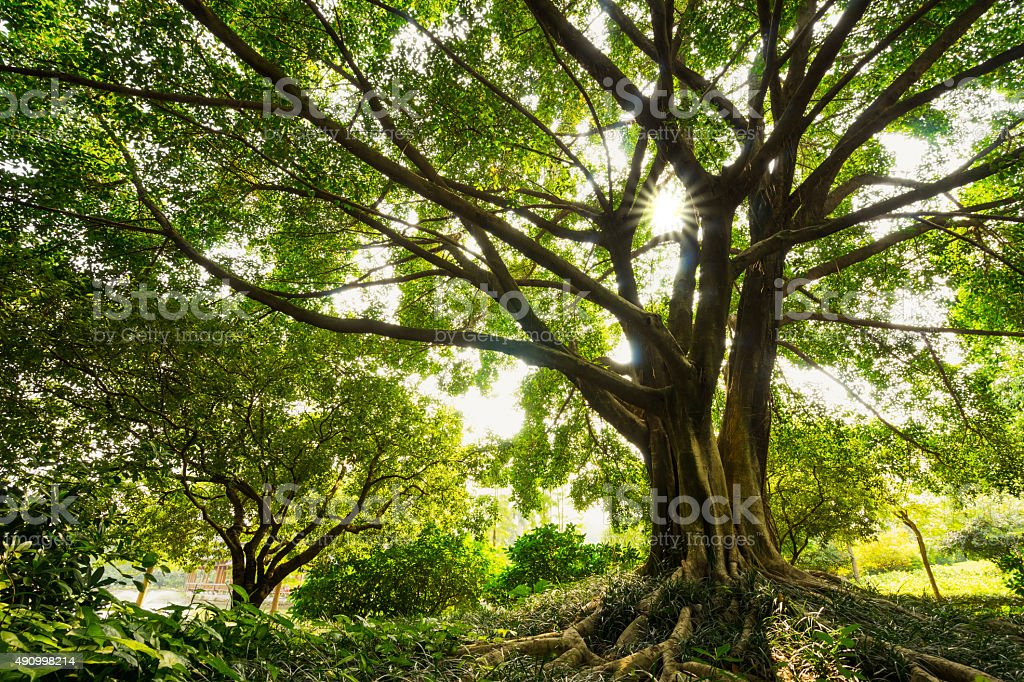 old banyan stock photo