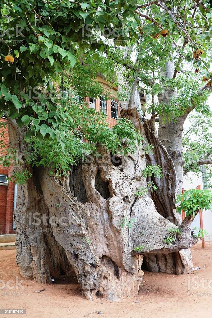 Old Baobab tree in Kasane, Botswana Africa stock photo