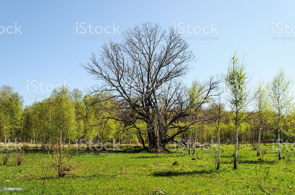 Old bare oak in spring time stock photo