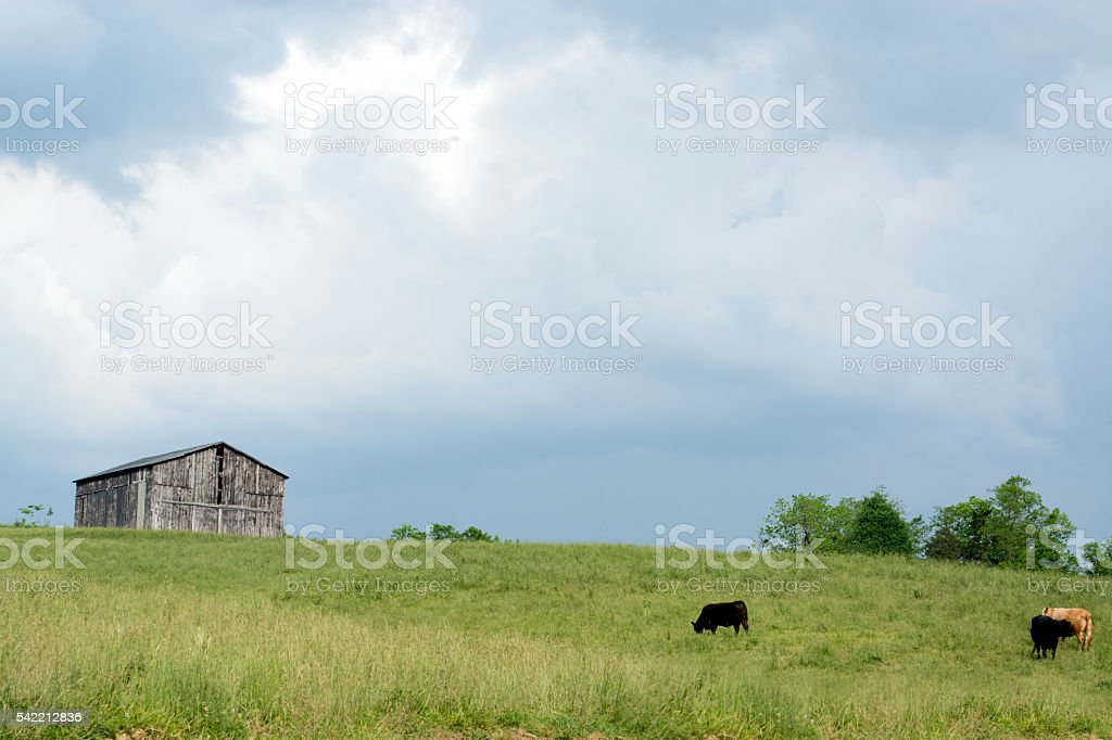 Old barn on a hill with cattle grazing stock photo