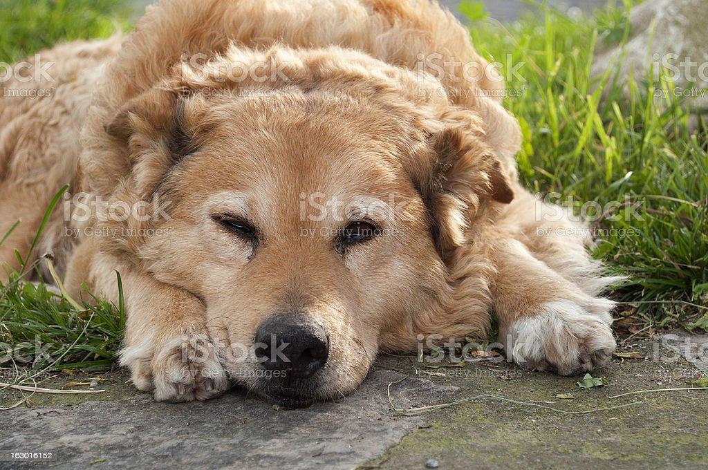 old basque shepherd dog lying resting royalty-free stock photo