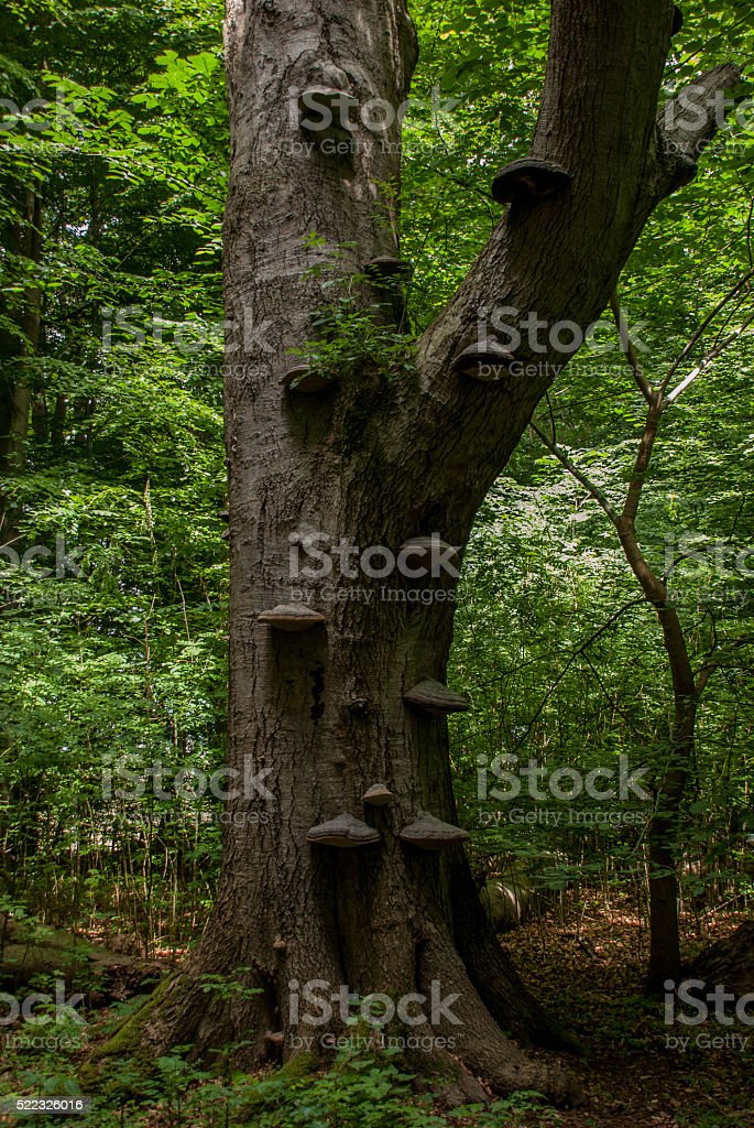 Old beech in Suserup Forest, Denmark stock photo