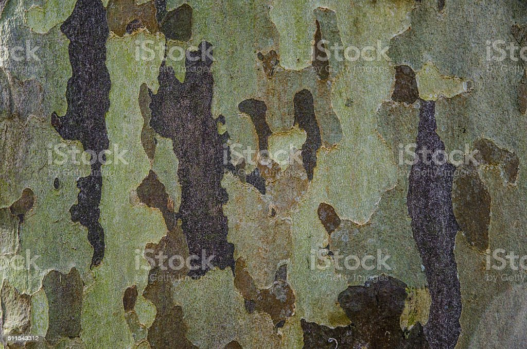 Old beech tree bark natural texture stock photo