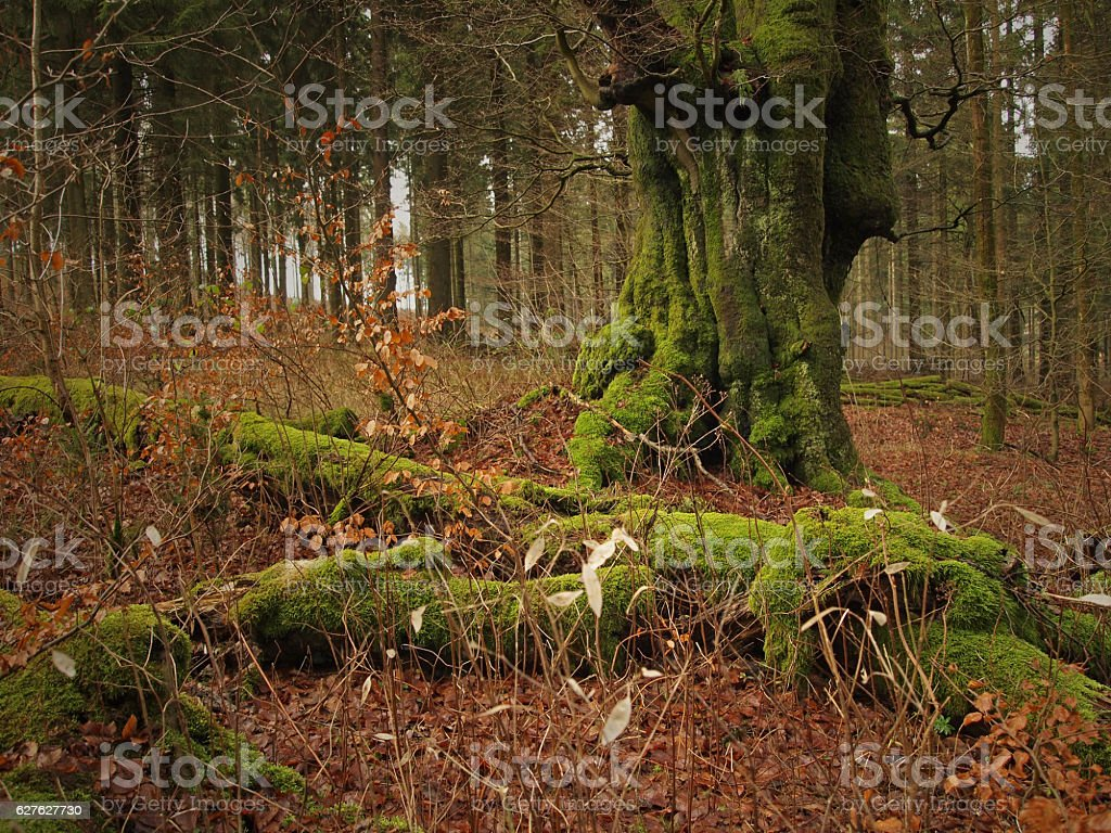 old beech tree in forest stock photo