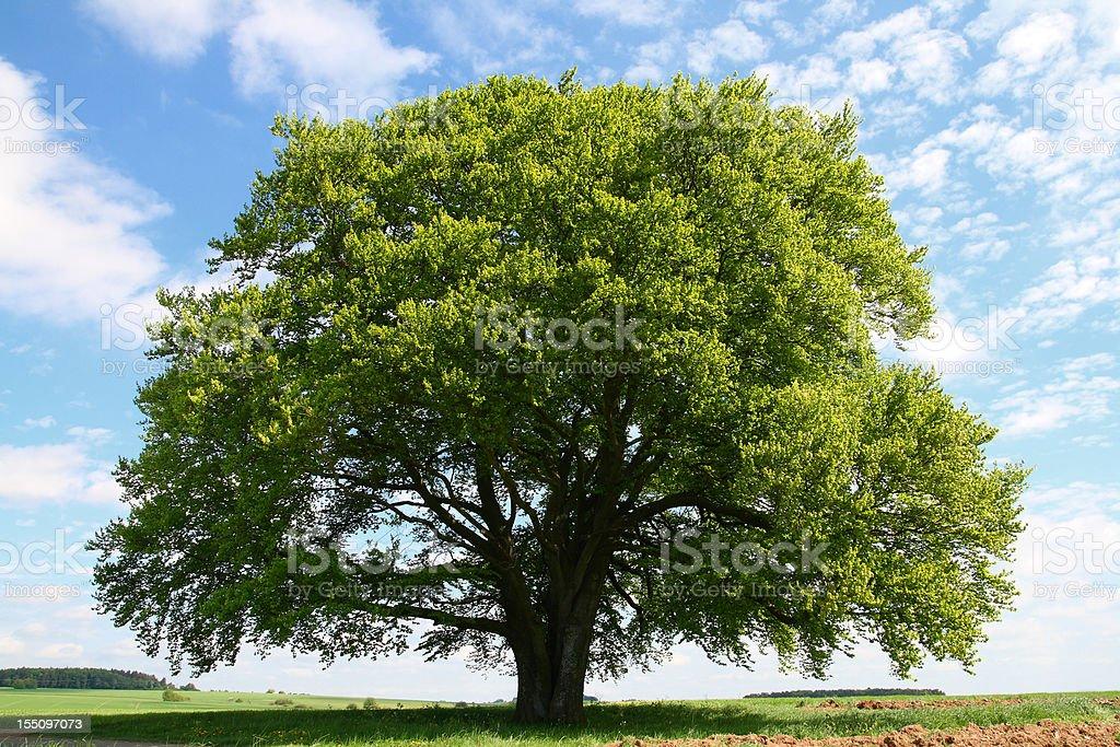 Old Beech Tree in Summer stock photo