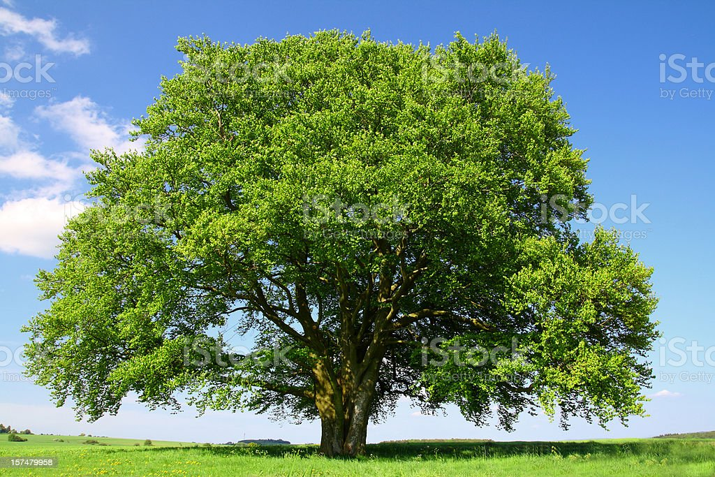 Old Beech Tree in Summer stock photo