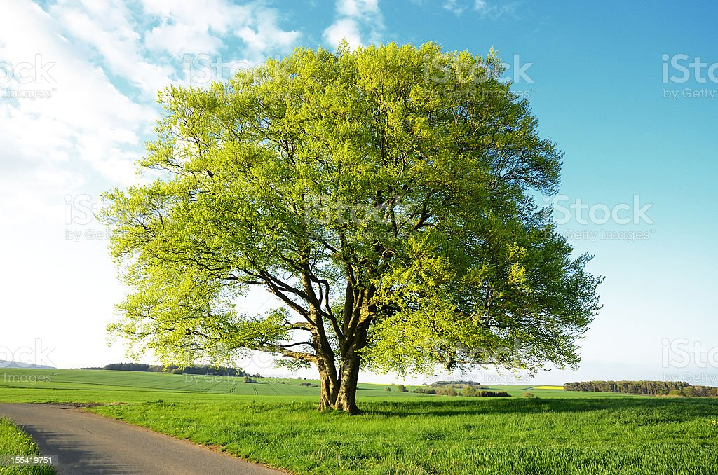 Old Beech Tree with new leaves during spring in fields royalty-free stock photo